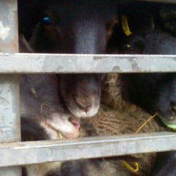 Под Одессой вторую неделю стоит фура с 300 овцами: животные умирают