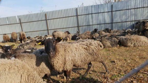 Зоозащитники ходят выкупить спасенных из черноморского порта овец