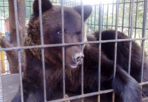 Хотела сделать фото: медведь напал на девушку на турбазе в Карпатах