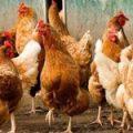 Одновременно несколько стран сняли с Украины ограничения на экспорт мяса птицы