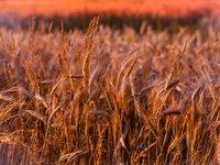 Глава Минэкономики считает маловероятным дальнейшее ухудшение прогноза урожая зерновых в Украине