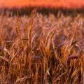 Posco International поставила 68 тыс. тонн фуражной пшеницы из Украины в Южную Корею