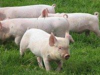 «Свиноводы Украины» просят пересмотреть квоты на импорт свинины из ЕС при пересмотре условий ЗСТ в 2021 году